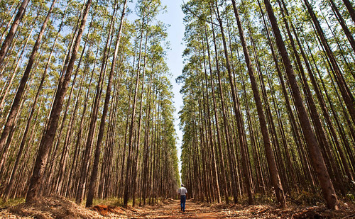 eucalipto-ms-inventári-florestal[1].jpg