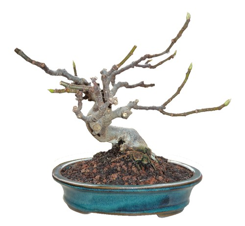 Bonsai figueira - ficus carica