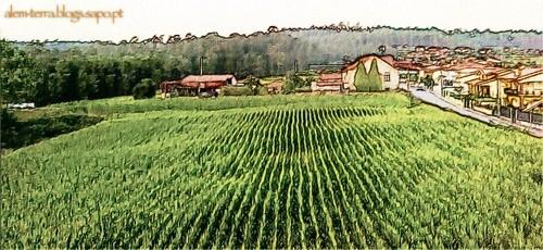 São Martinho da Gândara, campo de milho