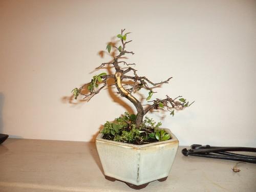 bonsai ulmeiro