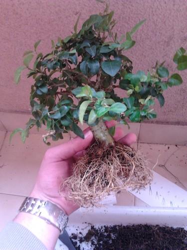 Preparação das raízes do Bonsai