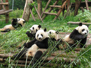 Centro_Panda_Chengdu.jpg