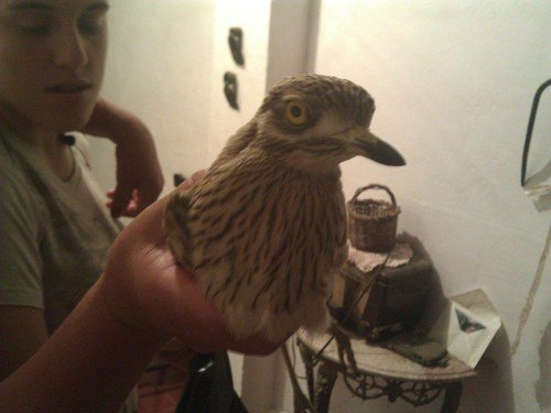 aves ignorus noturnus?