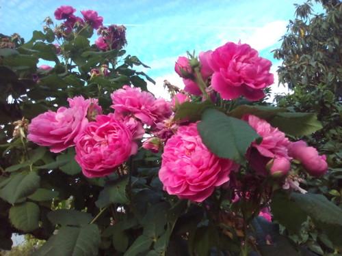Rosas. Original DAPL. 2016.jpg