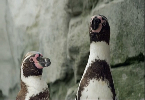 Casal gay de pinguins humboldt.png