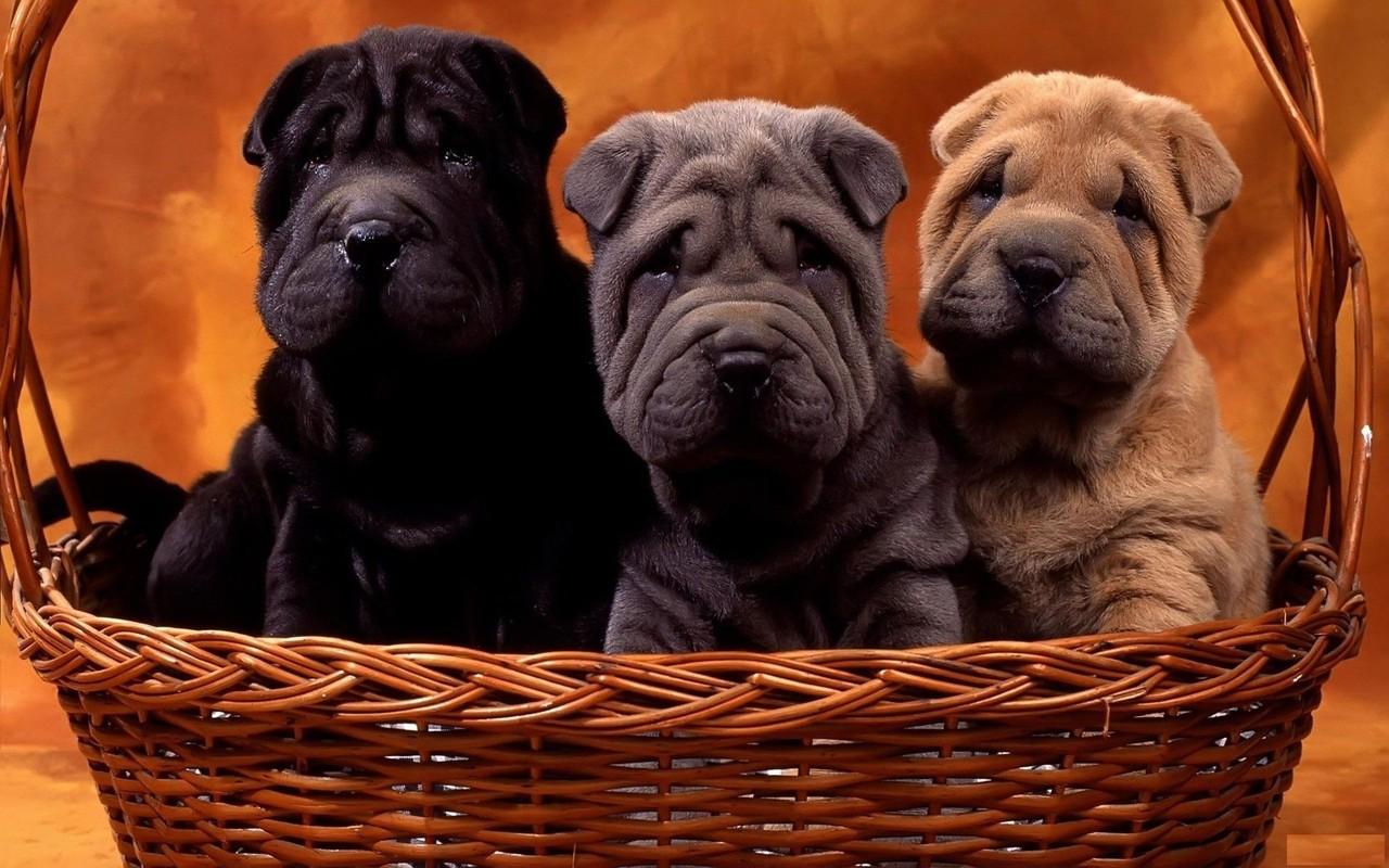 shar-pei dogs cães cão chien wallpaper cachorro imagem de fundo
