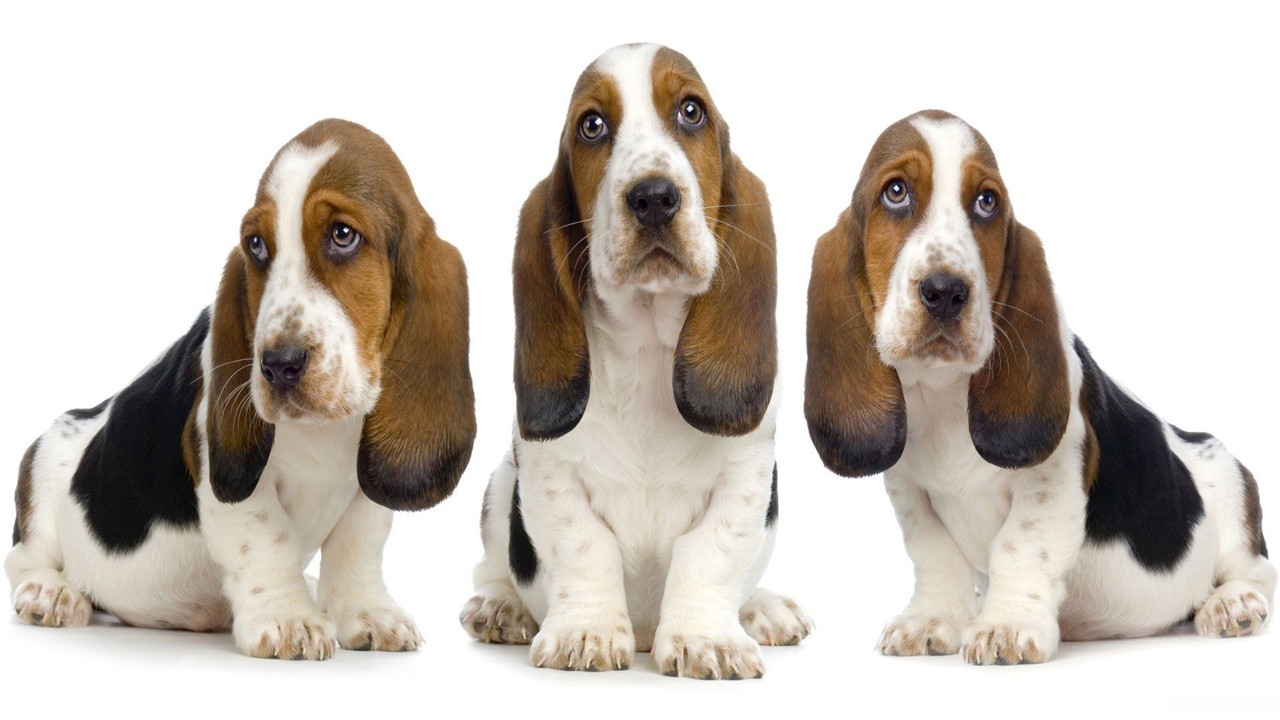 basset hound wallpaper imagem de fundo cão cachorro