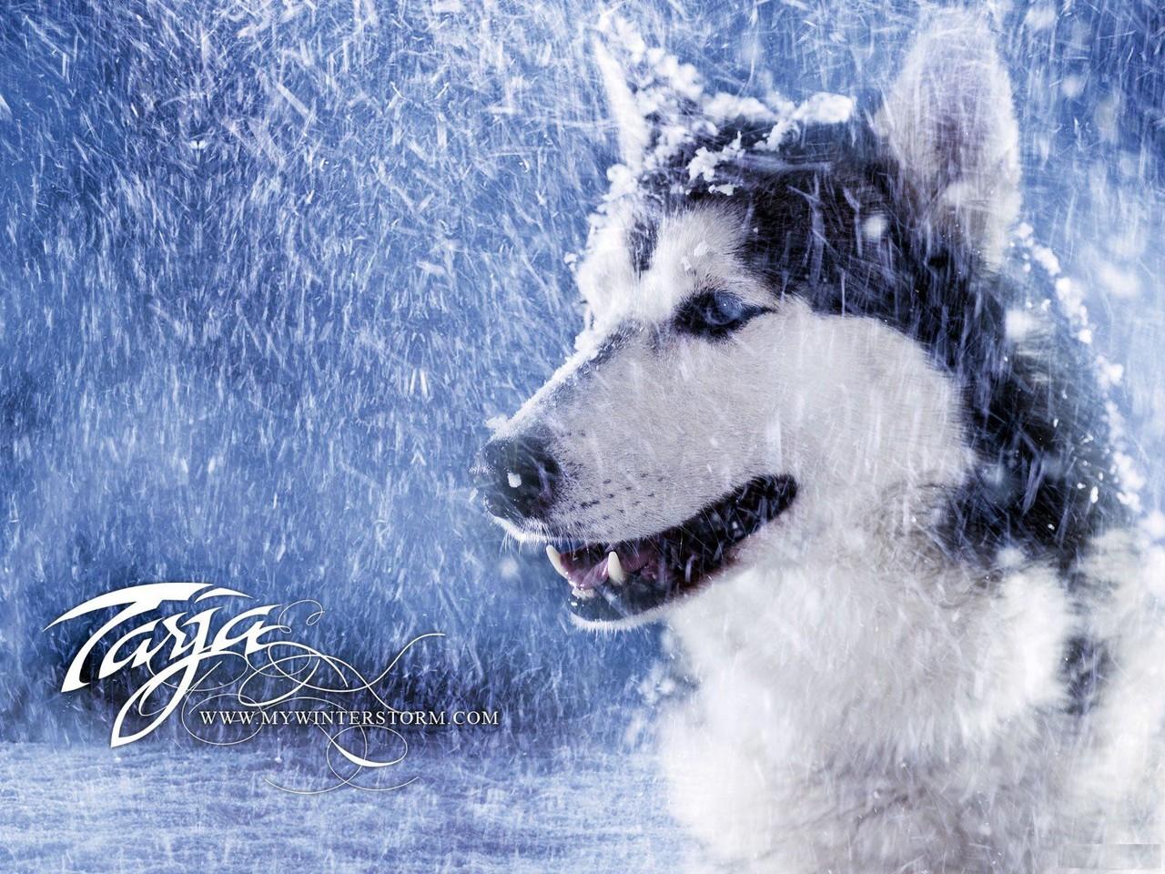 husky siberiano wallpaper imagem de fundo dog