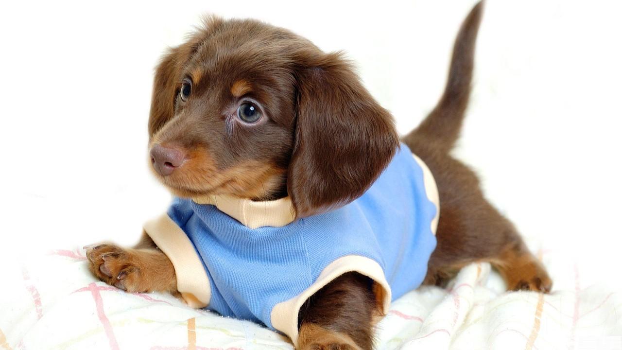 daschund cachorro cão imagem de fundo wallpaper chien dog