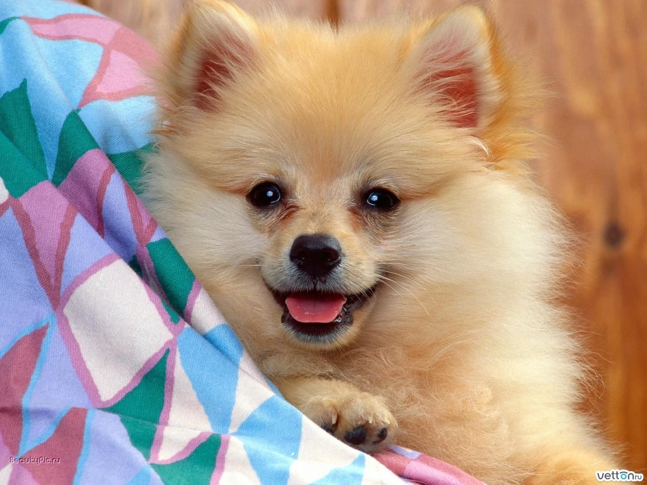 spitz dog wallpaper imagem de fundo cachorro chien