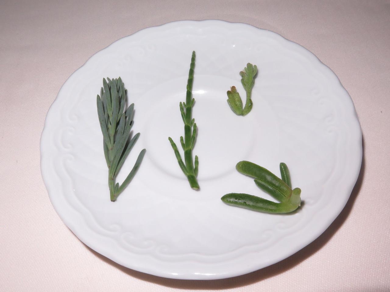 Plantas halófitas
