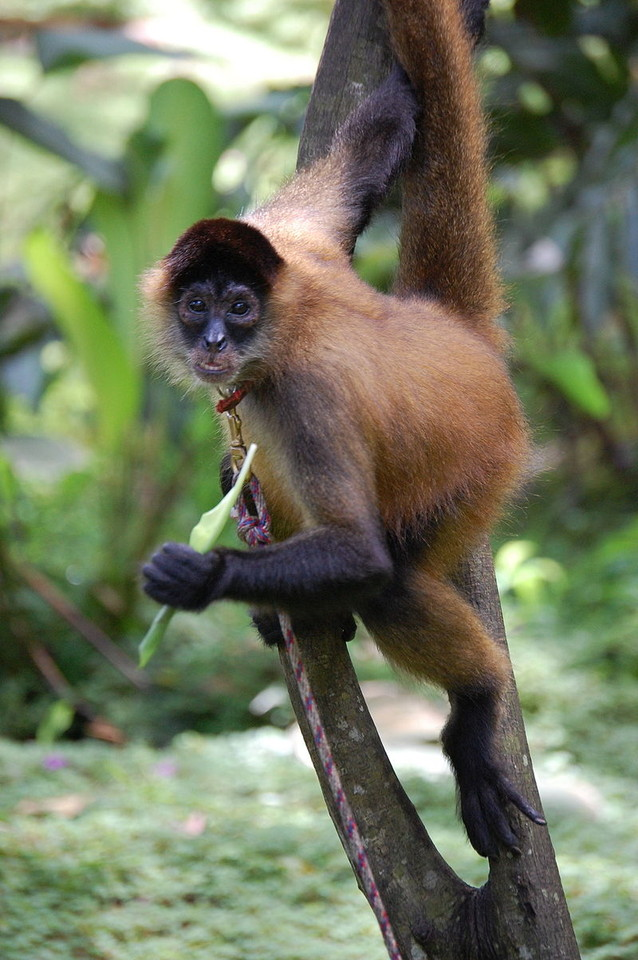 spider_monkey,_Costa_Rica.JPG