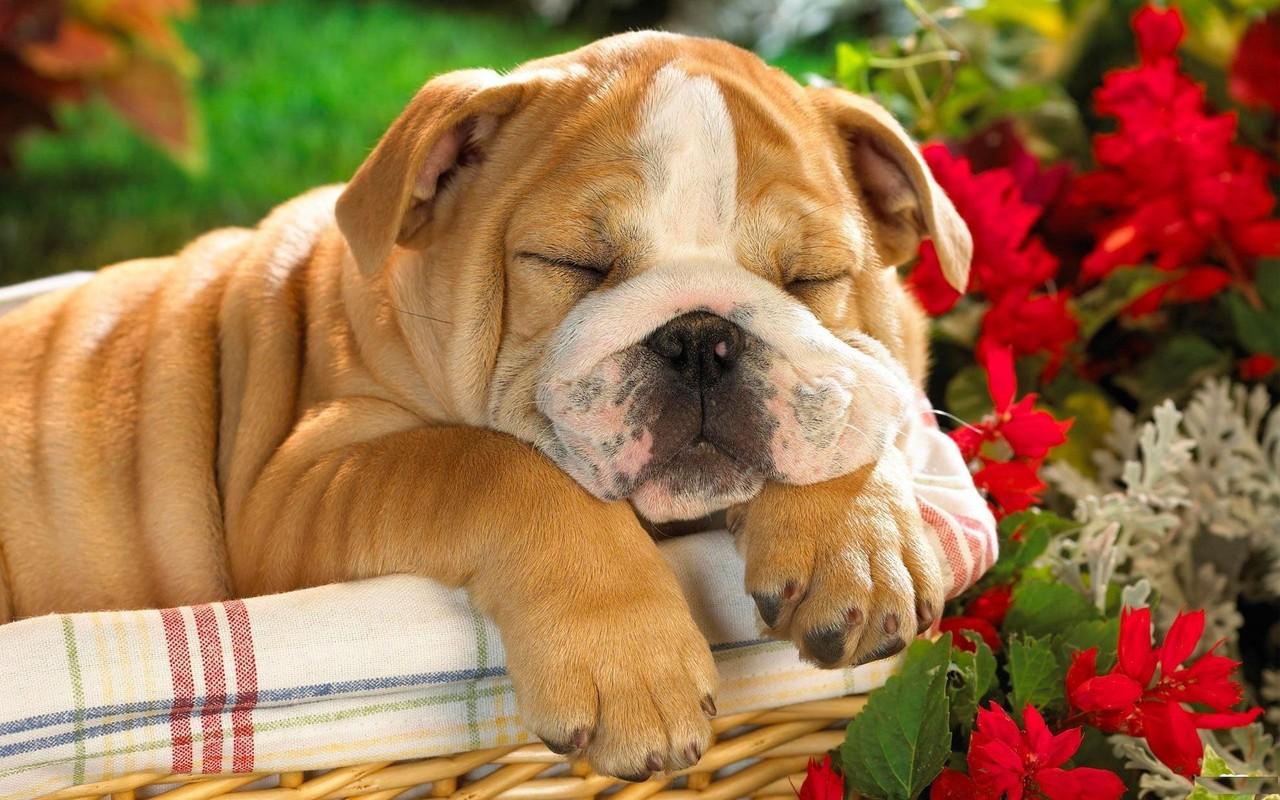 english bulldog wallpaper imagem de fundo cão cachorro