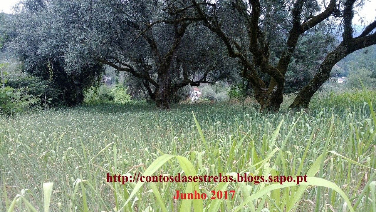 oliveirasemilho.jpg
