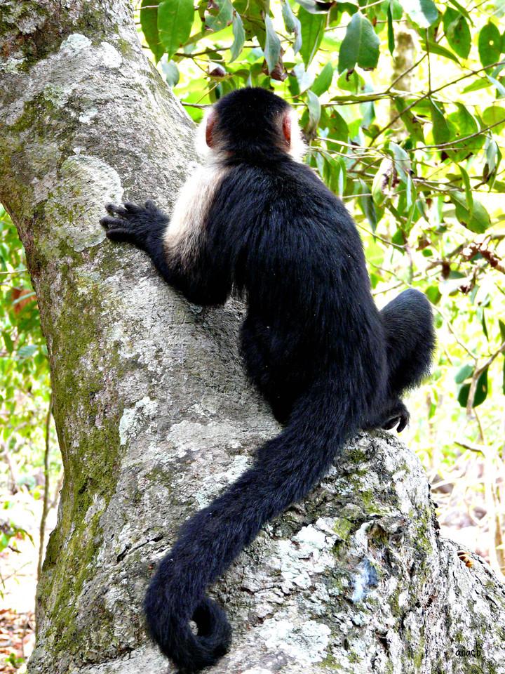 Parque Manuel Antonio-macaco-capuchinho (3).jpg
