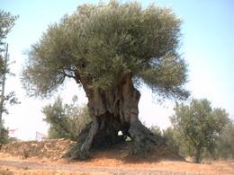 Mouriscas oliveira do mouchão