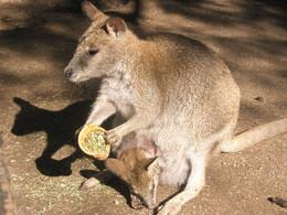 enciclopÉdia animal camelo canguru sãofalcão biologia e