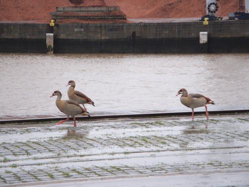 Aves migratorias no Porto de Leixoes - II