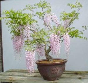 Glicinia Bonsai