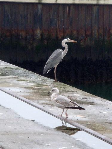 Ave migratoria no Porto de Leixoes - I