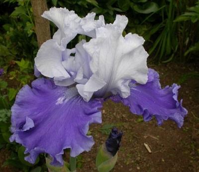 Iris Barbata-Elatior
