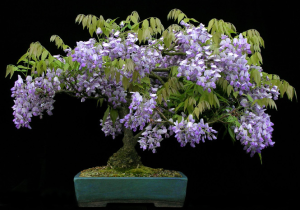 Glicinia Bonsai