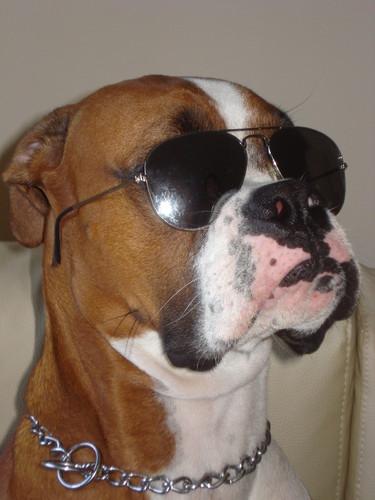 O Boxer Baba Muito Até o meu cã...