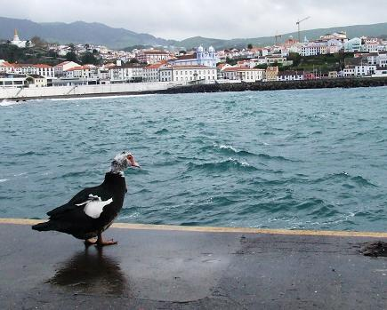 O pato em olhar contemplativo à baía de Angra...