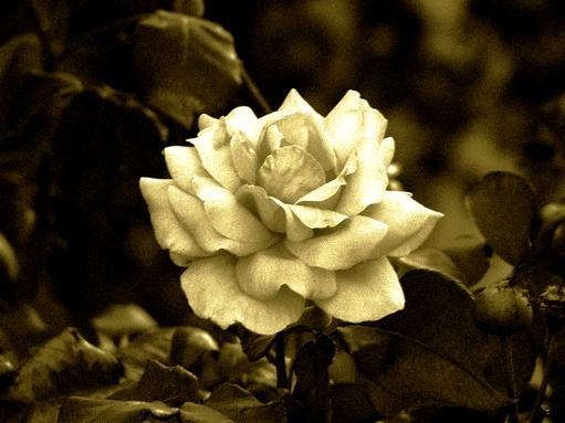 rosa sépia