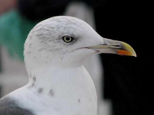 expressão gaivota