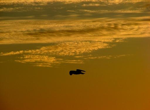 voar ao ocaso
