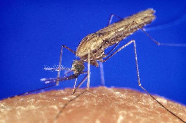 mosquito picada