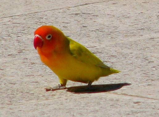 pássarodoverão