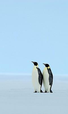 imagens baixar download fundo telemóvel celular wallpapers pinguins