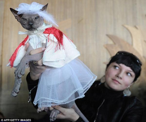 gato dom sphynx