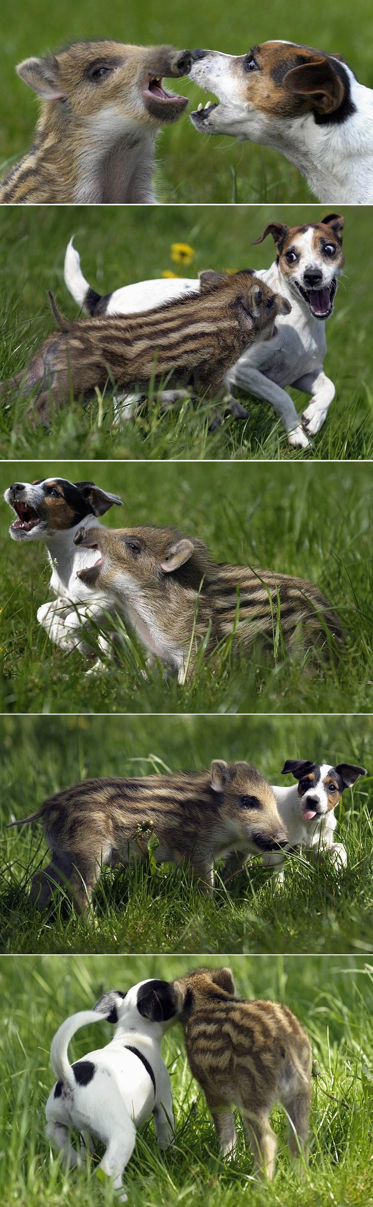 amizade entre cachorro e javali