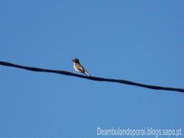 Pássaro dos Telhados